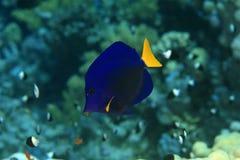 特性黄尾鱼 库存图片