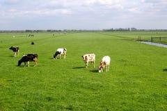特色荷兰开拓地景观、草甸&母牛 免版税库存照片