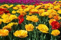 特里在花圃的黄色郁金香 库存照片