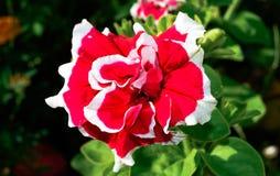 特里红色与白色喇叭花 免版税库存图片