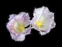 特里郁金香特写镜头的芽在黑暗的背景的 免版税库存图片