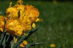 特里黄色郁金香 在绿色背景的美丽的黄色郁金香 免版税库存图片