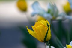 特里黄色郁金香 在绿色背景的美丽的黄色郁金香 库存照片