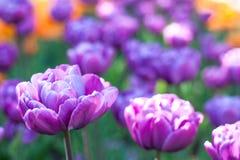 特里紫色郁金香在庭院里 免版税库存图片