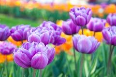 特里紫色郁金香在庭院里 免版税库存照片