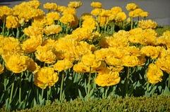 特里黄色郁金香在庭院里 免版税图库摄影