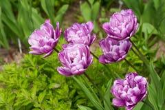 特里紫色郁金香 免版税库存图片