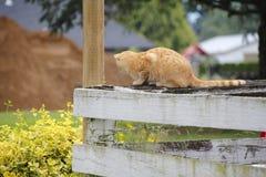 牺牲者的美国短发猫狩猎 免版税库存照片
