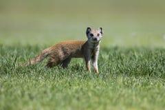 牺牲者的黄色猫鼬狩猎在短的绿草 免版税库存图片