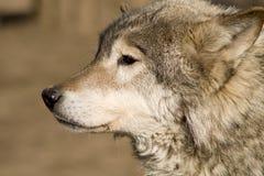 牺牲者等待的狼 图库摄影