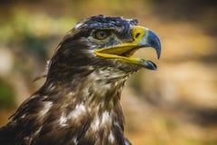 牺牲者,皇家老鹰,与美好的全身羽毛褐色的顶头细节 免版税库存照片