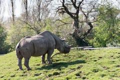 黑犀或勾子有嘴犀牛黑犀属bicornis在彻斯特动物园,彻斯特 免版税库存图片