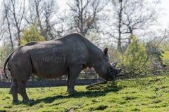 黑犀或勾子有嘴犀牛黑犀属bicornis在彻斯特动物园,彻斯特 图库摄影