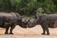 犀牛亲吻 免版税库存图片