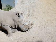 犀牛休息在沙子的, Zacango动物园 图库摄影