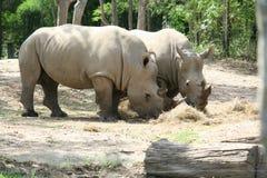 犀牛吃 免版税图库摄影