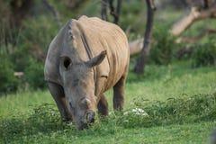 犀牛吃 库存图片