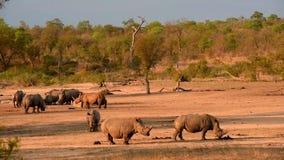 犀牛和一头长颈鹿在日落 股票录像