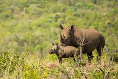 犀牛和小牛南非野生生物 库存照片