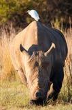 犀牛和白鹭额骨  库存照片