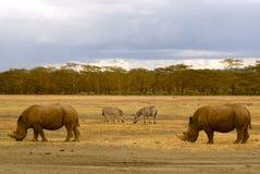 2头犀牛和2匹斑马在非洲风景(肯尼亚) 免版税库存照片