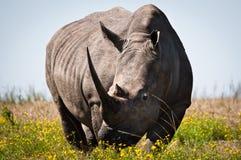 犀牛哺养 库存图片