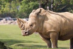 犀牛在一个动物园里在意大利 免版税库存照片