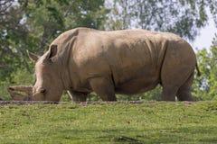 犀牛在一个动物园里在意大利 库存图片