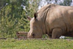 犀牛在一个动物园里在意大利 库存照片