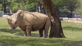 犀牛在一个动物园里在意大利 免版税库存图片