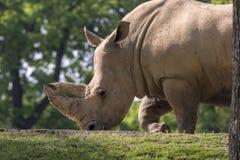 犀牛在一个动物园里在意大利 免版税图库摄影