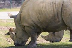 犀牛在一个动物园里在意大利 图库摄影