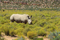 犀牛在克留格尔国家公园 免版税库存照片