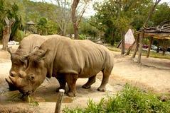 犀牛在公园嚼草 免版税图库摄影