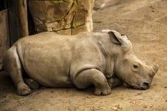 犀牛在动物园里坐 库存图片