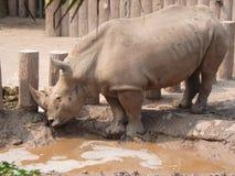 犀牛在动物园里 库存图片