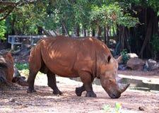 犀牛在动物园里 图库摄影