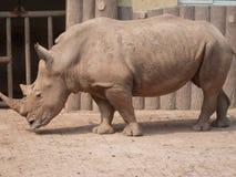 犀牛在动物园3里 免版税图库摄影