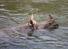 犀牛在尼泊尔 免版税库存图片