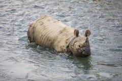 犀牛在尼泊尔 免版税库存照片