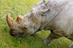 犀牛在布拉索夫动物园里 库存图片