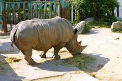 犀牛在布拉索夫动物园里 免版税图库摄影