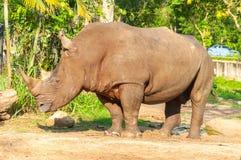 犀牛在开放动物园里 库存图片