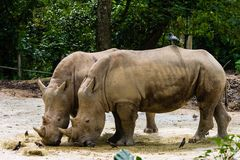犀牛在新加坡动物园里 免版税库存照片