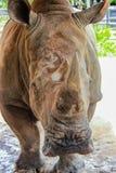 犀牛在春武里市 库存照片