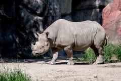 犀牛在栖所 图库摄影