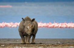 犀牛在湖的背景中站立有火鸟的 肯尼亚 国家公园 闹事 库存图片