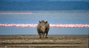犀牛在湖的背景中站立有火鸟的 肯尼亚 国家公园 闹事 库存照片