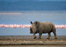 犀牛在湖的背景中站立有火鸟的 肯尼亚 国家公园 闹事 免版税图库摄影