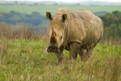 犀牛在牧场地 库存图片